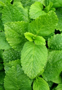 lemon_balm_herbal_remedies