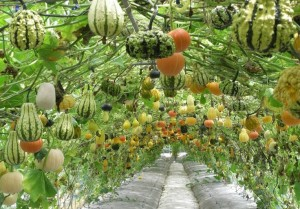 squash-and-gourd-tunnel-736x514