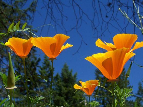 Group_of_California_Poppy